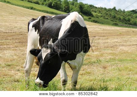 Dairy Cow.
