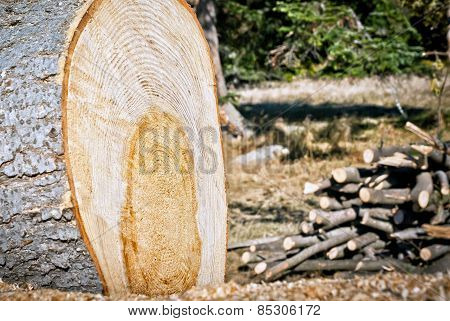 Felled Tree In The Forest