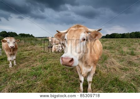 Cow On Pasture Close Up