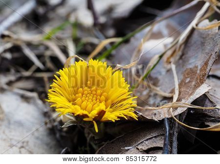 Coltsfoot Growing Inbetween Old Grey And Brown Leaves From Autumn At Spring