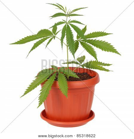 Hemp (cannabis) In A Flowerpot On White Background