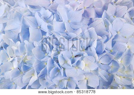 Blue Hydrangea Macrophyllous