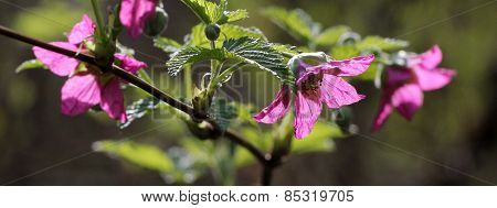 Salmonberry Flowers Backlit