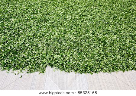 Dry Out Green Tea