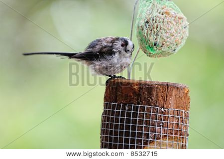 Fledgling Long-tailed Tit (aegithalos Caudatus) Feeding On A Ball Of Fat