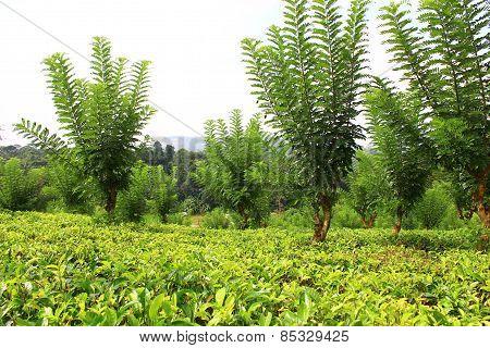 The tea plantation near Kandy