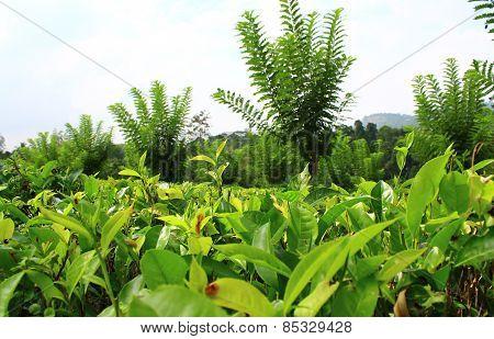 Leaves tea, Ceylon