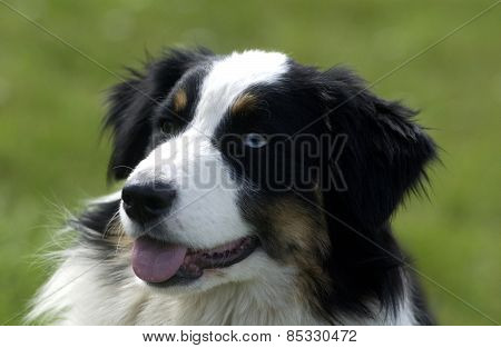 Dog, Autralian Shepherd In A Meadow