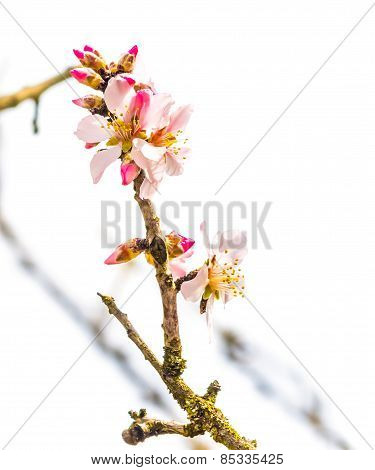 Spring Tree With Flowers On Daily Light Sky