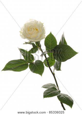 Fragrant White Rose