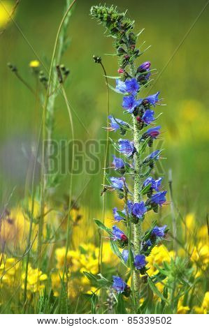 Blue Meadow Flower At Spring