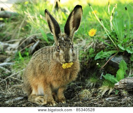 European Hare eating sowthistle