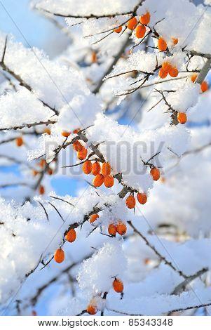Berries Under The Snow