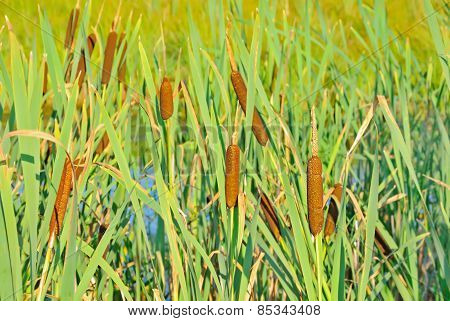 Bulrush Plants