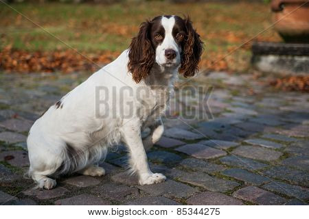 Cocker spaniel sitting