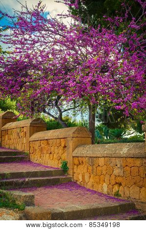 Blooming Judas Tree With Falling Flowers