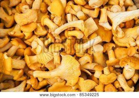 Chanterelle Mushrooms Background