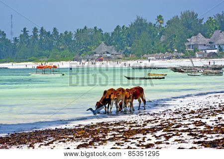 Seaweed Beach    Zanzibar  Cow