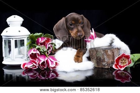 dachshund chocolate puppy and  pink tulips