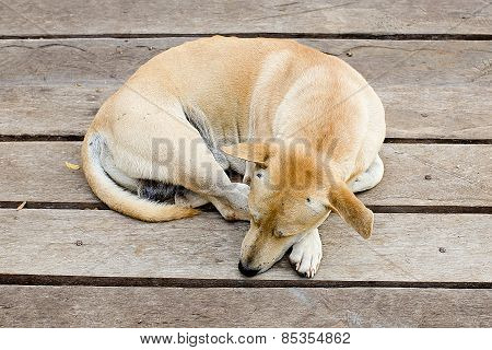 Thai Dog Lying Down On Wooden Planks
