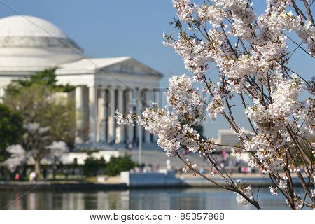 Spring in Washington DC - Cherry Blossom Festival at Jefferson Memorial