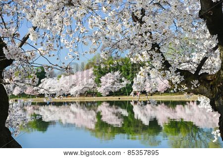Spring in Washington DC - Cherry Blossom Festival at Tidal Basin
