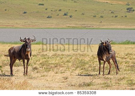 Couple Of Blue Wildebeests In Ngorongoro