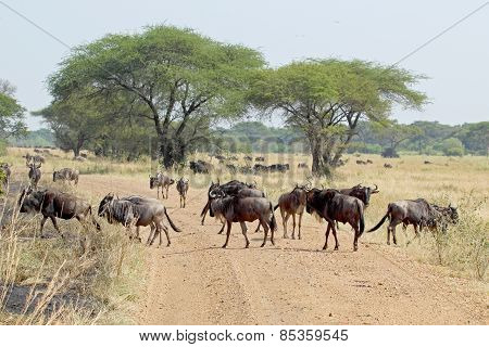 Group Of Blue Wildebeests Crossing A Road