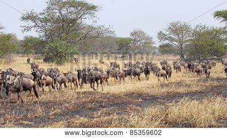 Blue Wildebeests During The Great Migration