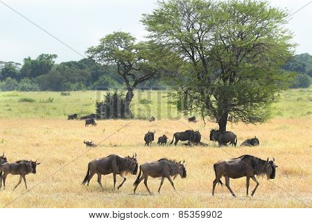 Group Of Blue Wildebeests In The Savannah