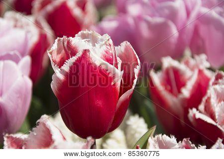 Bright Reddish Pink Tulips