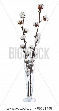 Cotton Plant With Bolls In Vase Isolated On White Background.