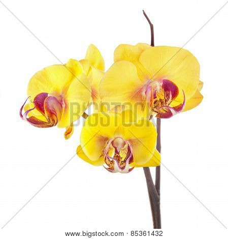 Blooming Twig Of Yellow Purple Orchid Isolated On White Background.