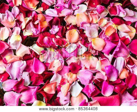 Fresh Rose Petal