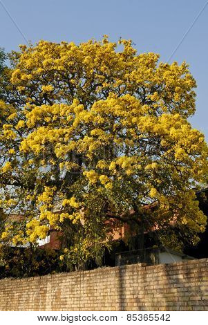 Yellow Lapacho Tree