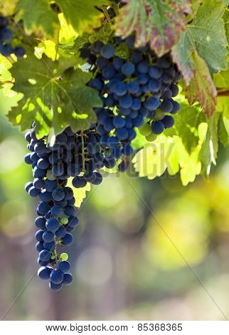 Red Grapes In Sunlight With Vineyard Background