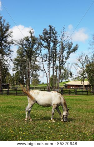 A charming country estate, with a special fence walk their beautiful horses. Thoroughbred white horse