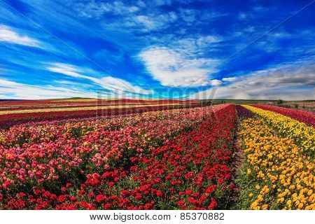 Farmer fields with the flowers which are grown up for sale for export. The blossoming garden buttercups