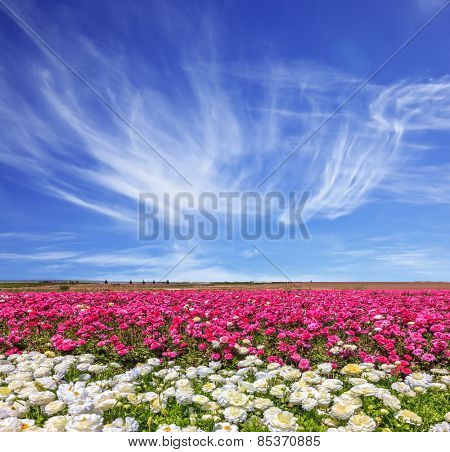 Windy spring day. A field of the blossoming buttercups of gentle lilac and white color