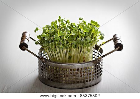 Bunch of radishes microgreens