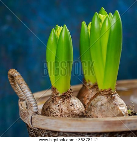 Growing hyacinth flower bulbs in pot