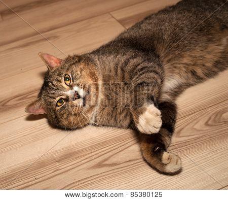 Tabby Cat  Lying On Floor