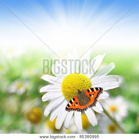 Marguerite flower with butterfly