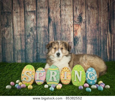 Easter Collie Puppy