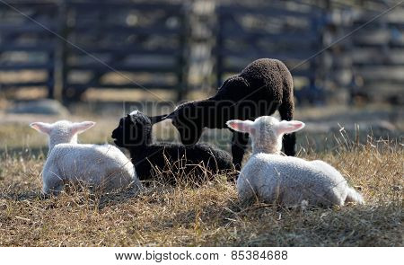 Four Lambs Laying Down