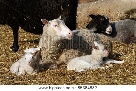 Sheep Family Resting In The Sun