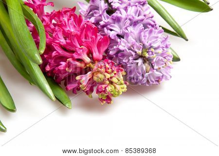two hyacinths isolated on white