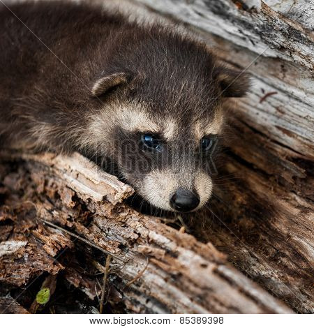 Shy Baby Raccoon (procyon Lotor)