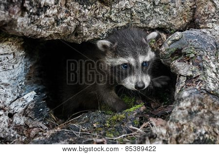 Baby Raccoon (procyon Lotor) Crawls Out Of Downed Tree
