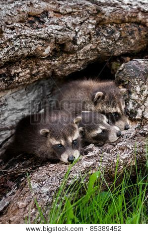 Baby Raccoons (procyon Lotor) Huddle In Log